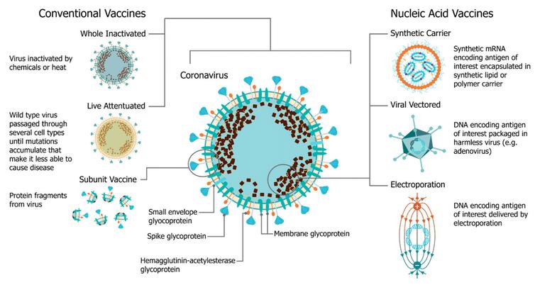 Los investigadores pueden crear vacunas basadas en lo que denominan plataformas, es decir, diferentes formas tecnológicas de introducir de forma segura el sistema inmunitario en el virus objetivo. Blakney AK, Ip S, Geall AJ. An Update on Self-Amplifying mRNA Vaccine Development. Vaccines. 2021; 9(2):97., CC BY